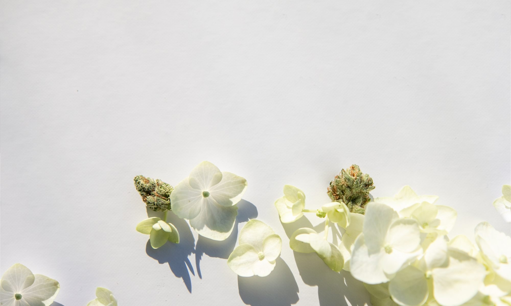 Close,Up,On,White,Hydrangea,Flowers,With,Cannabis,Bud,-